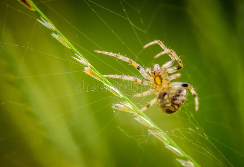 Μακρο πορτρέτο αραχνών, θήραμα παγίδων στον ιστό αράχνης στοκ εικόνες