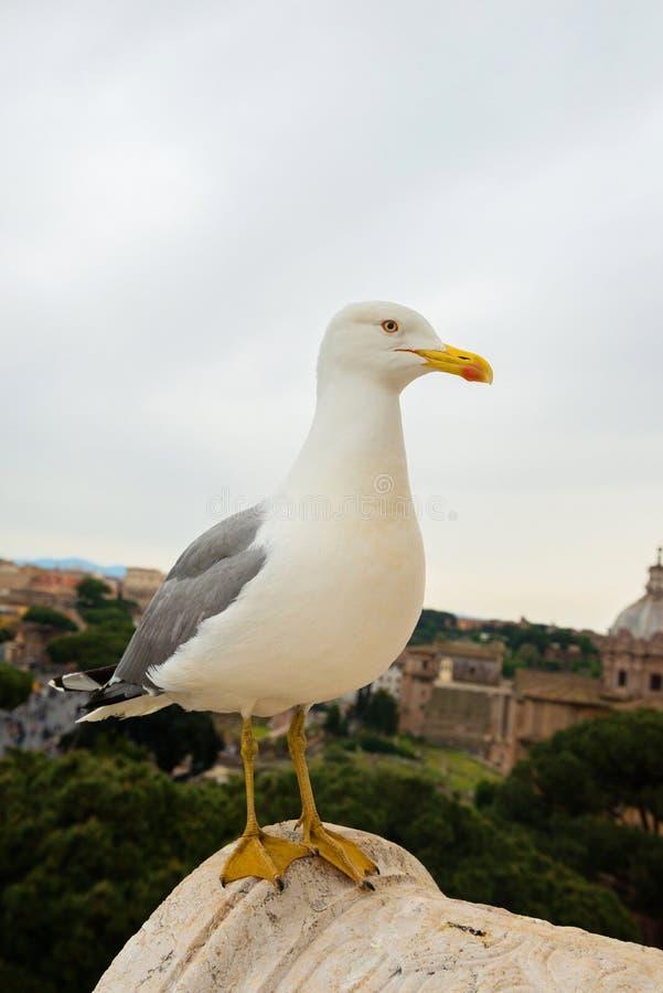 Μακρο πορτρέτο seagull στοκ εικόνα με δικαίωμα ελεύθερης χρήσης