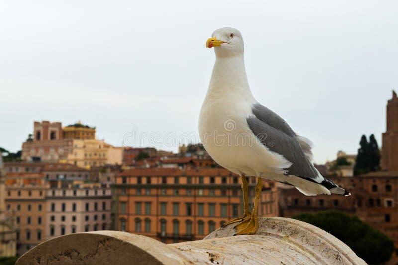 Μακρο πορτρέτο seagull στοκ φωτογραφία με δικαίωμα ελεύθερης χρήσης