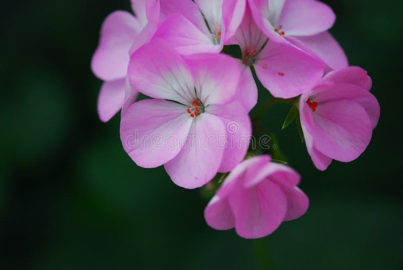 μακρο πορφύρα λουλουδ& στοκ φωτογραφία με δικαίωμα ελεύθερης χρήσης