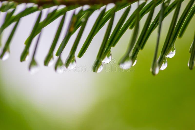 Μακρο πτώσεις φωτογραφιών της βροχής καλοκαιριού ή άνοιξης στις βελόνες Χριστουγέννων σε ένα πράσινο υπόβαθρο στοκ εικόνα