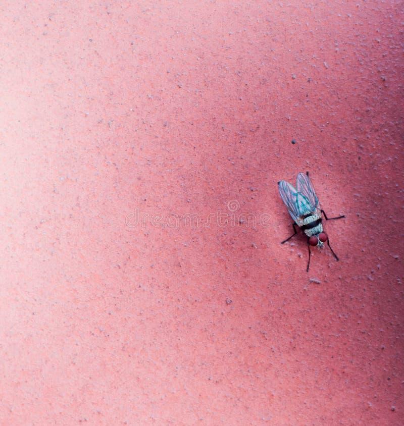 Μακρο πυροβολισμός μιας μύγας στο χιλιετές ροζ στοκ φωτογραφίες