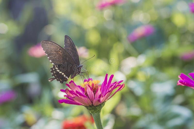 Μακρο πυροβολισμός, μια μαύρη πεταλούδα σε ένα μικρό κόκκινο λουλούδι στοκ φωτογραφία με δικαίωμα ελεύθερης χρήσης