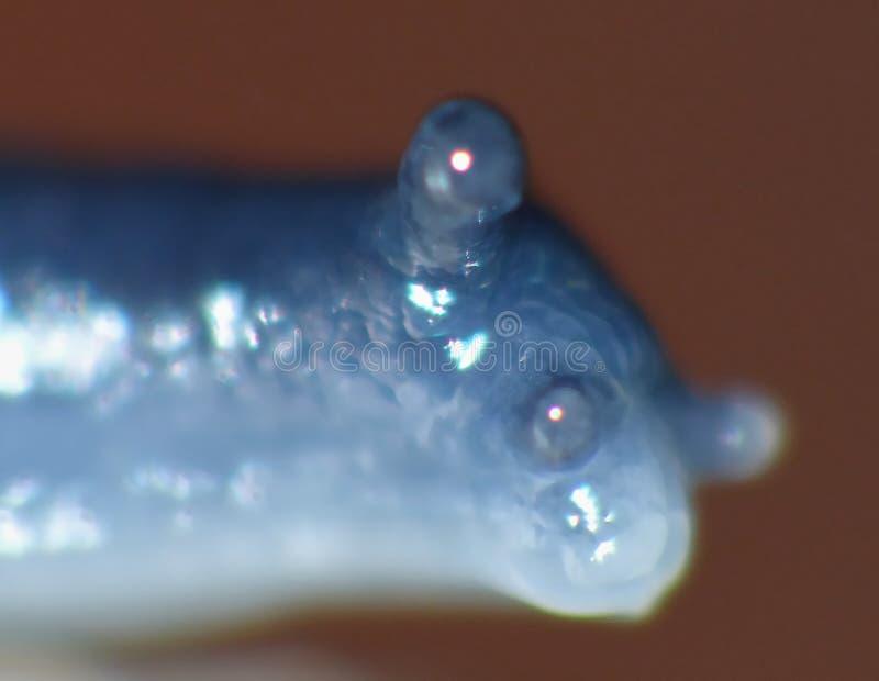 Μακρο πυροβολισμός του μικροσκοπικού μπλε σαλιγκαριού στοκ εικόνα με δικαίωμα ελεύθερης χρήσης