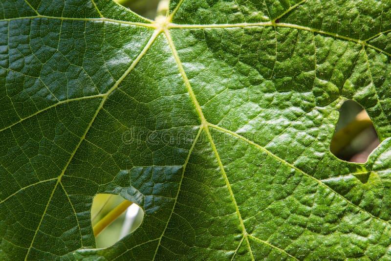 Μακρο πυροβολισμός του φρέσκου πράσινου φύλλου αμπέλων σταφυλιών στοκ εικόνες με δικαίωμα ελεύθερης χρήσης