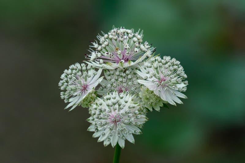 Μακρο πυροβολισμός των άσπρων λουλουδιών του astrantia σημαντικών στοκ εικόνα με δικαίωμα ελεύθερης χρήσης