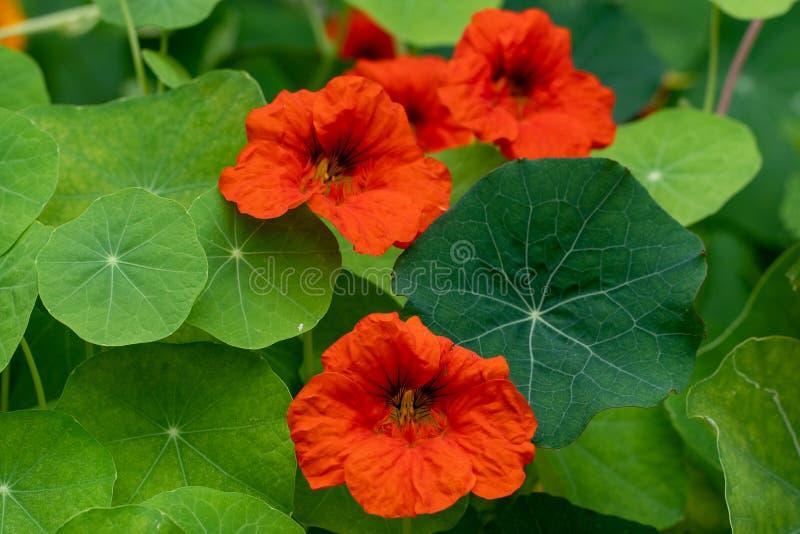 Μακρο πυροβολισμός των κόκκινων λουλουδιών στα πλαίσια της χλόης στη μαλακή εστίαση στοκ φωτογραφία