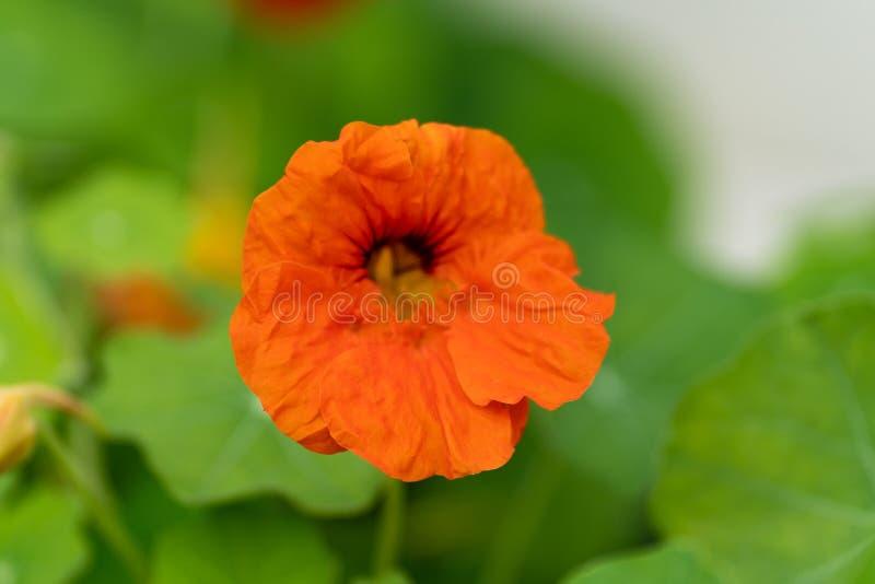 Μακρο πυροβολισμός των κόκκινων λουλουδιών στα πλαίσια της χλόης στη μαλακή εστίαση στοκ φωτογραφίες με δικαίωμα ελεύθερης χρήσης