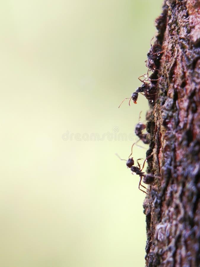 Μακρο πυροβολισμός των μαύρων μυρμηγκιών στο δέντρο κλάδων στοκ φωτογραφία