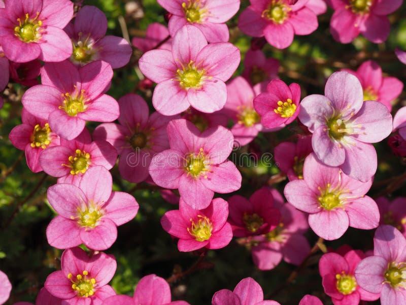 Μακρο πυροβολισμός των μικρών ρόδινων λουλουδιών Saxifraga στοκ φωτογραφίες