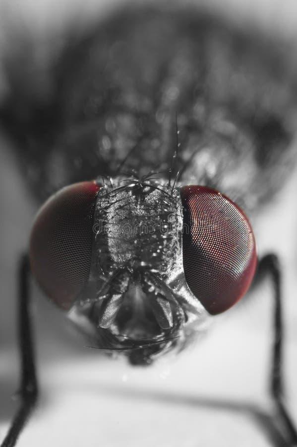 Μακρο πυροβολισμός εντόμων μυγών στοκ εικόνες