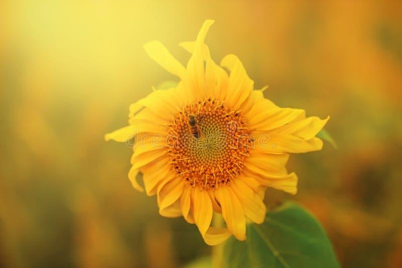 Μακρο πυροβολισμός μιας συνεδρίασης μελισσών μελιού στον ηλίανθο στον κήπο μέσα στοκ εικόνες