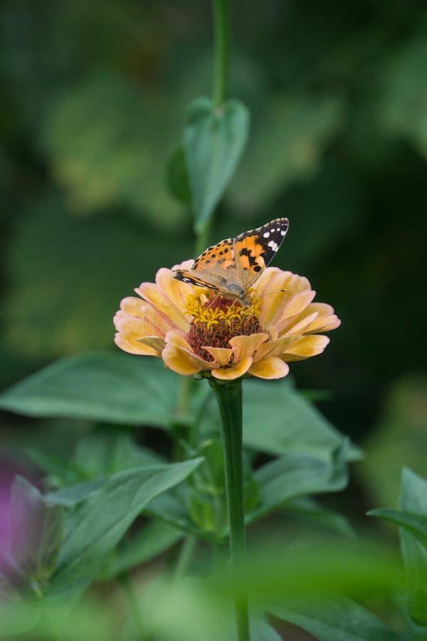 Μακρο πυροβολισμός μιας όμορφης πεταλούδας σε έναν χλωμό - ρόδινο λουλούδι στοκ φωτογραφία με δικαίωμα ελεύθερης χρήσης