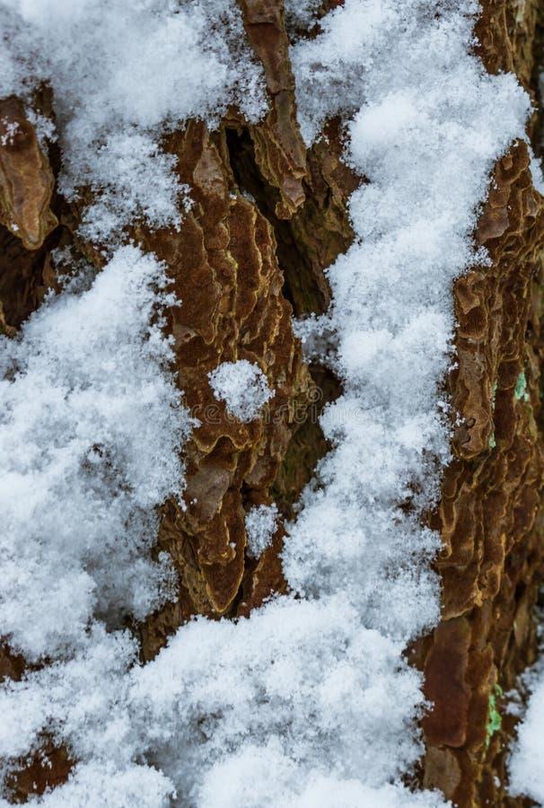 Μακρο στενός επάνω του φλοιού δέντρων κατά τη διάρκεια της χειμερινής εποχής, φλοιός δέντρων που καλύπτεται στο χιόνι, υπόβαθρο σ στοκ εικόνα