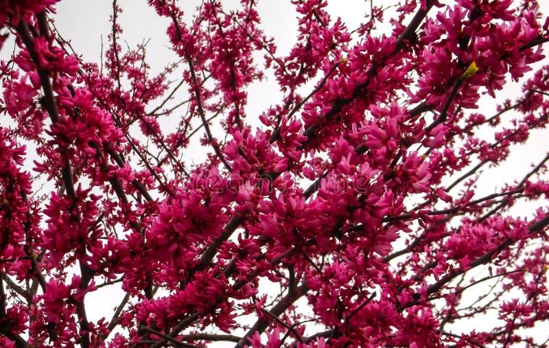 Μακρο συννεφιάζω ρόδινο δέντρο στοκ εικόνες