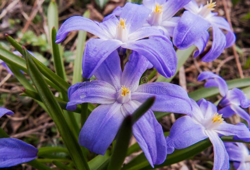 Μακρο φωτογραφία: Εγκαταστάσεις άνοιξη με τα ιώδη/μπλε λουλούδια στοκ εικόνα με δικαίωμα ελεύθερης χρήσης