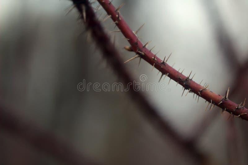 Μακρο φωτογραφία ενός κόκκινου κλάδου με τις ακίδες στην άκρη στο υπόβαθρο ενός θολωμένου δάσους και των κλάδων στοκ εικόνες