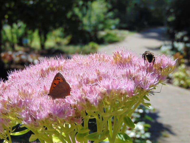 Μακρο φωτογραφία με το διακοσμητικό υπόβαθρο των εντόμων κατά τη διάρκεια της θερινής συλλογής του νέκταρ στα λουλούδια των πεταλ στοκ εικόνα