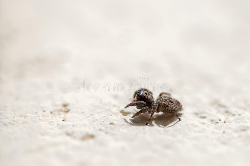 Μακρο φωτογραφία μιας μικροσκοπικής καφετιάς αράχνης άλματος στοκ φωτογραφίες