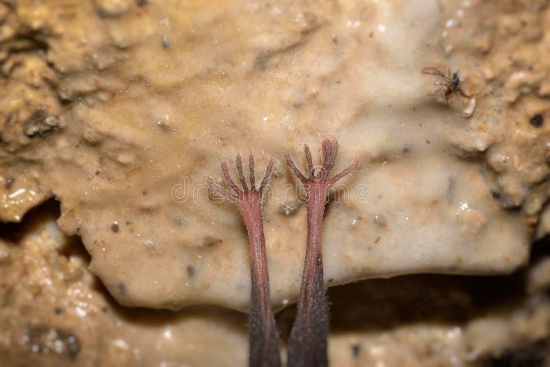 Μακρο φωτογραφία στα πόδια ενός ροπάλου Μικρότερα πεταλοειδή hipposideros Rhinolophus ροπάλων στοκ εικόνα