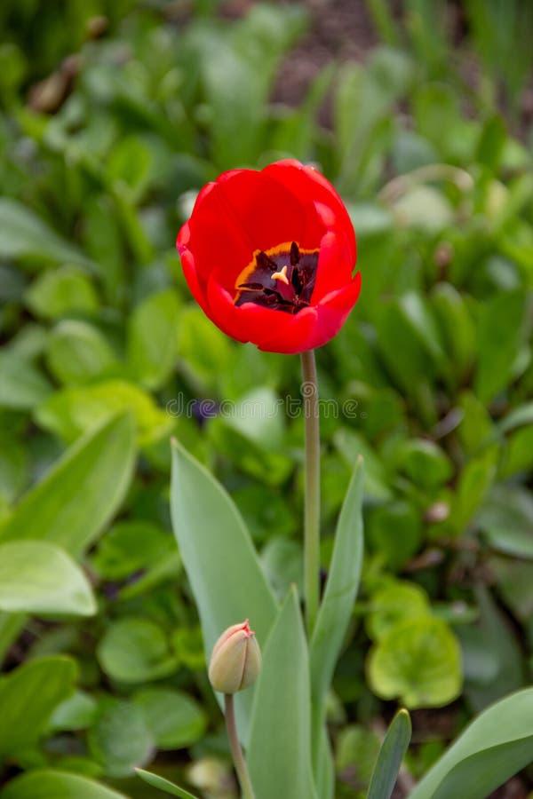 Μακρο φωτογραφία της κόκκινης τουλίπας στοκ εικόνα με δικαίωμα ελεύθερης χρήσης