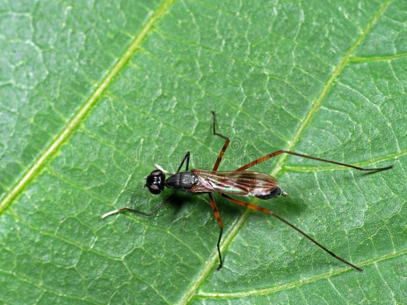 Μακρο φωτογραφία της ξυλοπόδαρο-με πόδια μύγας ή Rainieria antennaepes σε Gree στοκ εικόνες