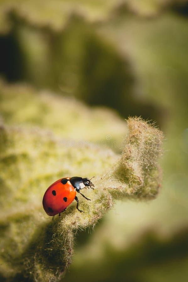 Μακρο φωτογραφία του ladybug στη φύση με το πράσινο υπόβαθρο στοκ φωτογραφίες με δικαίωμα ελεύθερης χρήσης