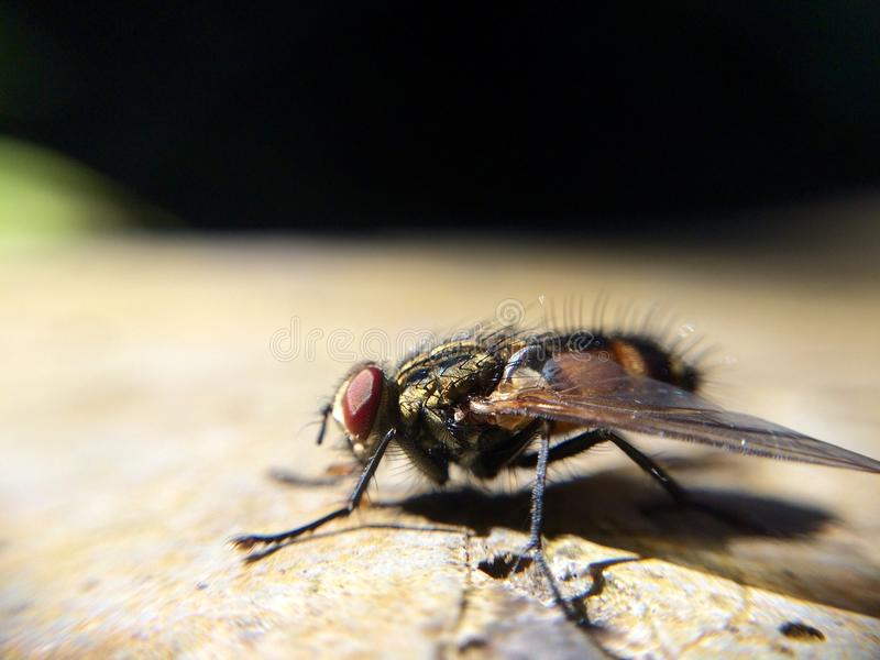 Μακρο φύση εντόμων δίπτερων μυγών στοκ φωτογραφίες με δικαίωμα ελεύθερης χρήσης