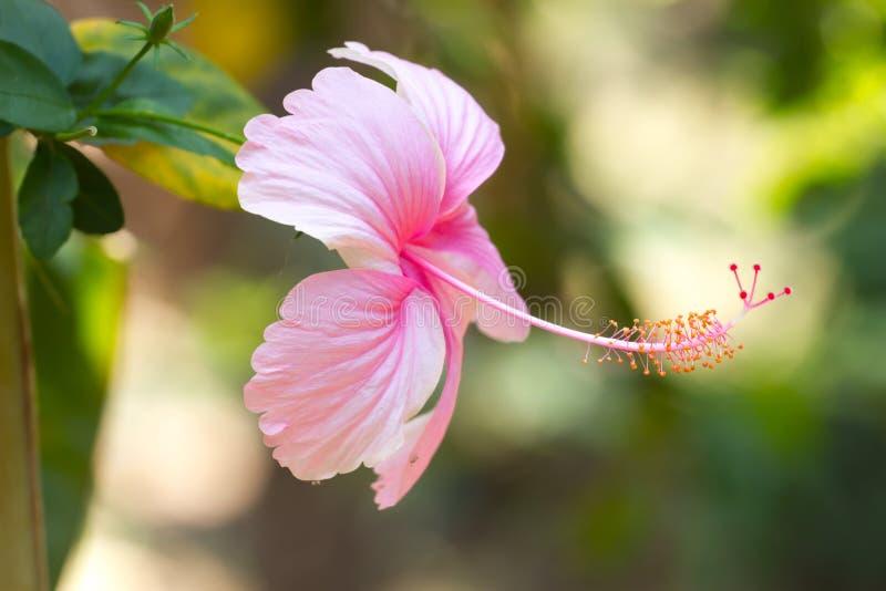 Μακρο hibiscus φωτογραφιών OH εγκαταστάσεις Πορφυρό και ρόδινο χρώμα στοκ εικόνα με δικαίωμα ελεύθερης χρήσης