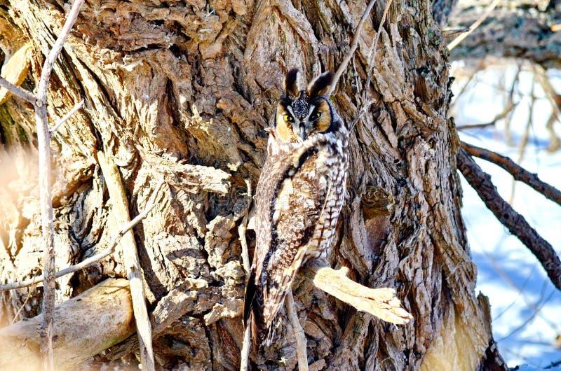 Μακρύς-έχουσα νώτα κουκουβάγια στις άγρια περιοχές στοκ φωτογραφίες