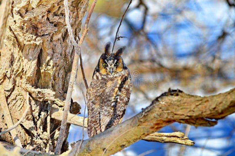 Μακρύς-έχουσα νώτα κουκουβάγια στις άγρια περιοχές στοκ φωτογραφία με δικαίωμα ελεύθερης χρήσης