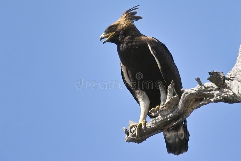 Μακρύς-λοφιοφόρος αετός (occipitalis Lophaetus) στοκ φωτογραφίες με δικαίωμα ελεύθερης χρήσης