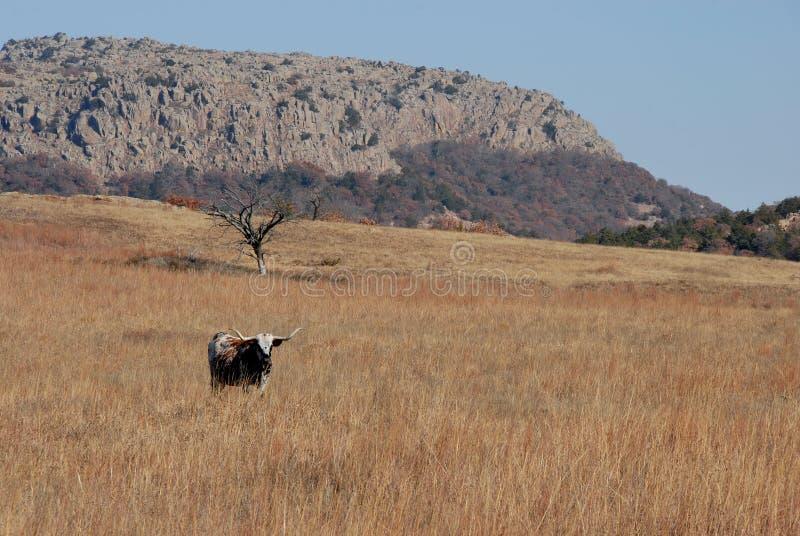 μακρύς ταύρος κέρατων στοκ φωτογραφία με δικαίωμα ελεύθερης χρήσης
