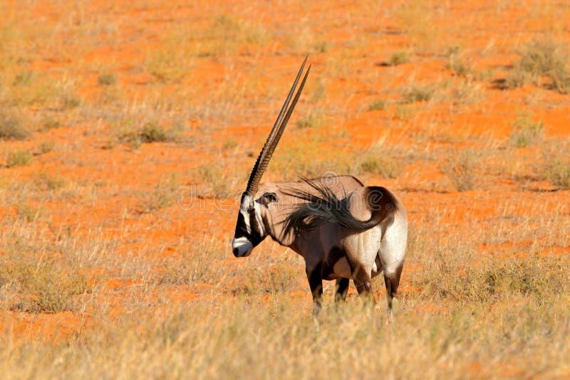 Μακρύ ζώο κέρατων στην κόκκινη έρημο άμμου Gemsbok με το πορτοκαλί ηλιοβασίλεμα βραδιού αμμόλοφων άμμου Gemsbuck, gazella Oryx, μ στοκ εικόνες