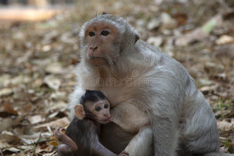 Μακρύ πόσιμο γάλα μωρών Macaque ουρών από τη μητέρα του στοκ φωτογραφία