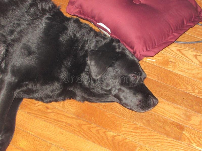 Μακρύ σκυλί ημέρας στοκ εικόνες