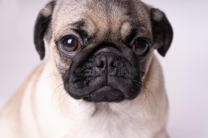 Μαλαγμένος πηλός, σκυλί στο άσπρο υπόβαθρο Χαριτωμένο φιλικό παχύ chubby κουτάβι μαλαγμένου πηλού Κατοικίδια ζώα, εραστές σκυλιών στοκ φωτογραφία με δικαίωμα ελεύθερης χρήσης