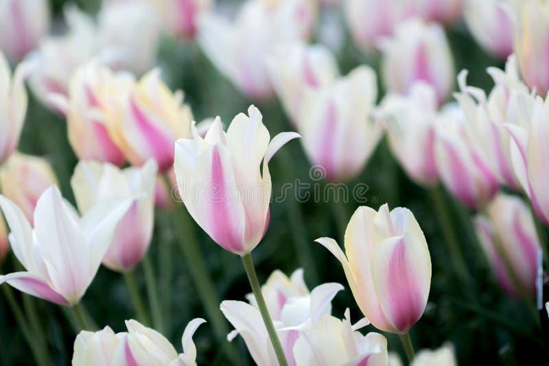 Μαλακές ρόδινες τουλίπες ομάδας Η όμορφη τουλίπα στο α στοκ εικόνα