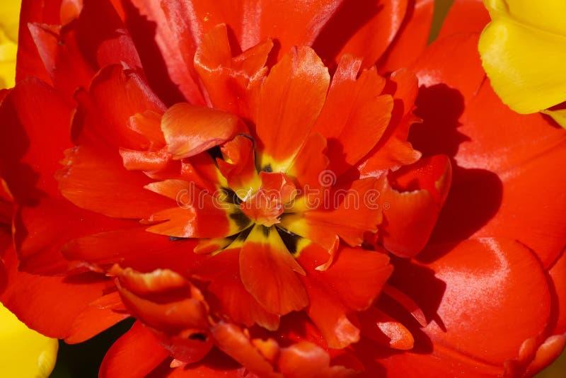 Μαλακή αφηρημένη εικόνα της όμορφης κόκκινης τουλίπας Μακροεντολή με το εξαιρετικά ρηχό βάθος του τομέα στοκ φωτογραφίες