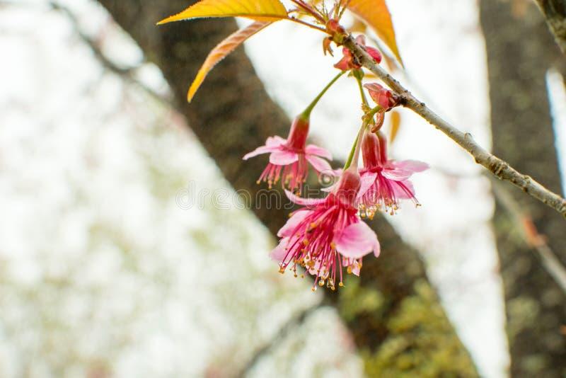 Μαλακή εστίαση, όμορφο άνθος κερασιών, φωτεινά ρόδινα λουλούδια Sak στοκ φωτογραφία με δικαίωμα ελεύθερης χρήσης