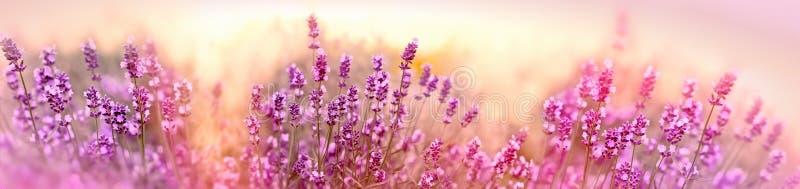 Μαλακή και εκλεκτική εστίαση lavender στο λουλούδι, όμορφο lavender στον κήπο λουλουδιών στοκ φωτογραφία με δικαίωμα ελεύθερης χρήσης