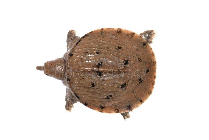μαλακή χελώνα κοχυλιών στοκ φωτογραφίες με δικαίωμα ελεύθερης χρήσης