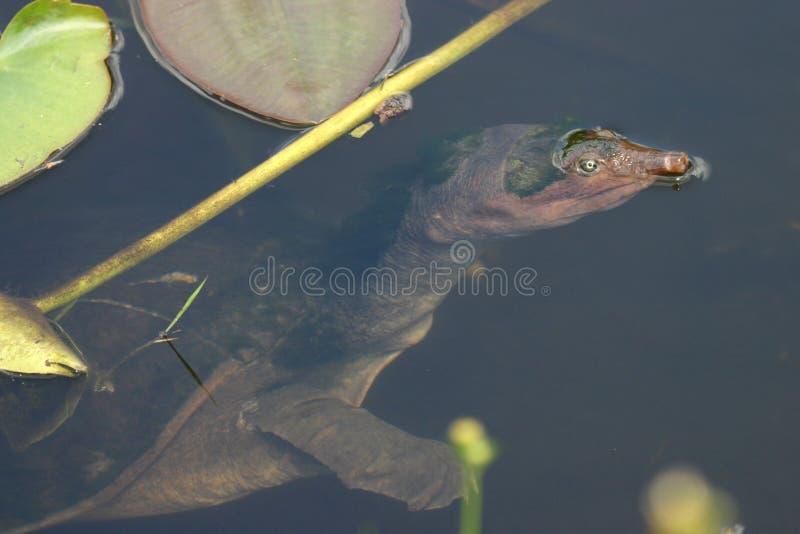 μαλακή χελώνα κοχυλιών στοκ εικόνες