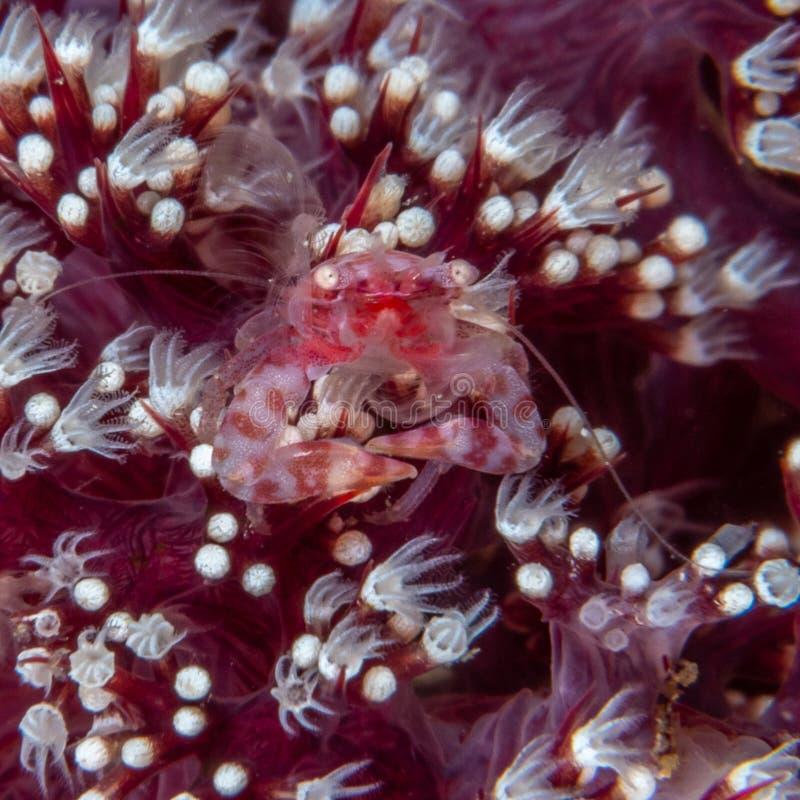 Μαλακό καβούρι πορσελάνης κοραλλιών, nakasonei Lissoporcellana Pulisan, ο Βορράς Sulawesi στοκ φωτογραφίες με δικαίωμα ελεύθερης χρήσης