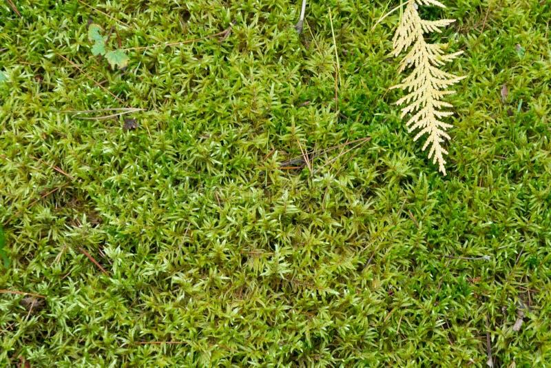 Μαλακό πράσινο mossy δασόβιο φυσικό υπόβαθρο πατωμάτων στοκ εικόνα με δικαίωμα ελεύθερης χρήσης