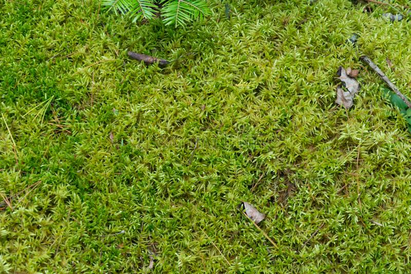 Μαλακό πράσινο mossy δασόβιο φυσικό υπόβαθρο πατωμάτων στοκ εικόνα