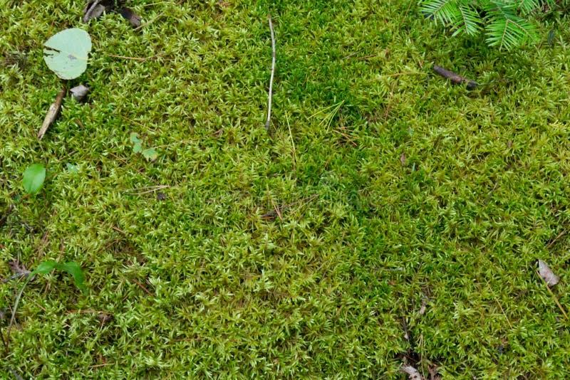 Μαλακό πράσινο mossy δασόβιο φυσικό υπόβαθρο πατωμάτων στοκ φωτογραφίες