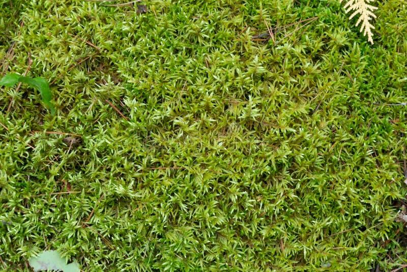 Μαλακό πράσινο mossy δασόβιο φυσικό υπόβαθρο πατωμάτων στοκ εικόνες