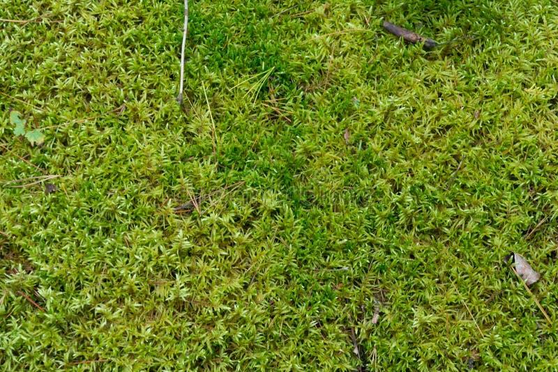 Μαλακό πράσινο mossy δασόβιο φυσικό υπόβαθρο πατωμάτων στοκ φωτογραφία με δικαίωμα ελεύθερης χρήσης