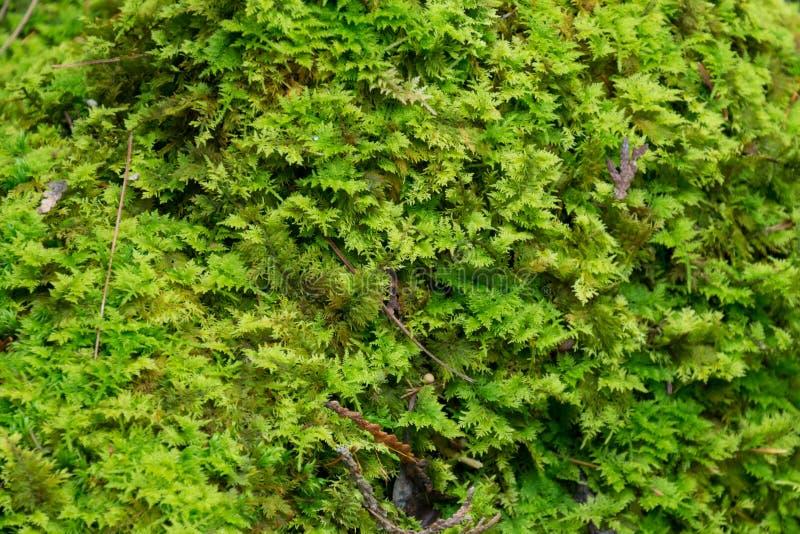 Μαλακό πράσινο mossy δασόβιο φυσικό υπόβαθρο πατωμάτων στοκ φωτογραφία